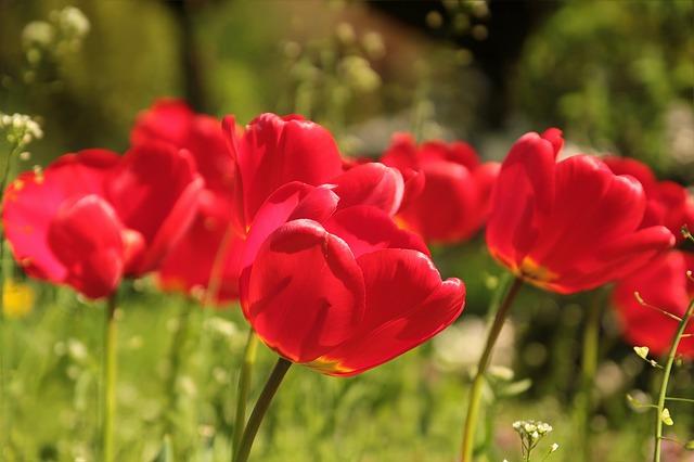 Fleurs rouges dans un champ